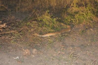 Bull Snake at night? [April; Sick Dog Ranch near Alice, Texas]