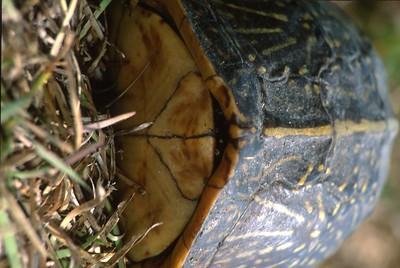 turtle Florida Box Turtle Terrapene carolina Everglades National Park FL SLIDE SCAN REPTILES -16