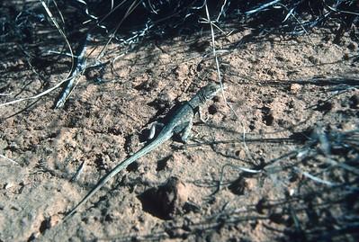 lizard Canyonlands National Park UT March 1987 SLIDE SCAN REPTILES -09