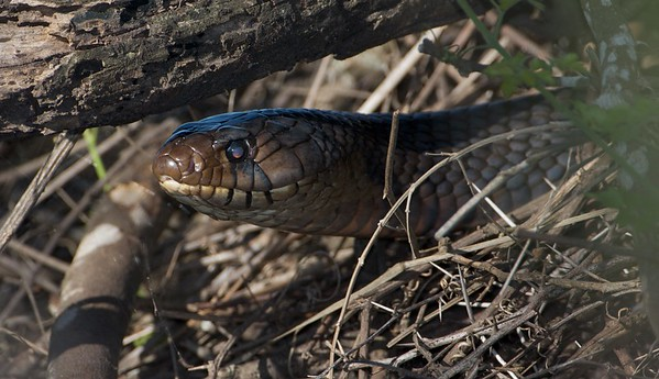 This is the largest species of snake in North America. It is the Indigo Snake and it can reach 9 feet in length. This one was nearly 8 feet long [April; Sick Dog Ranch near Alice, Texas]