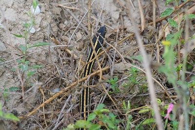 Western Ribbon Snake Thamnophis proximus [April; Krenmueller Farms, Lower Rio Grande Valley, Texas]