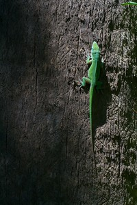 Green Anole Anolis carolinensis [April; Krenmueller Farms, Lower Rio Grande Valley, Texas]