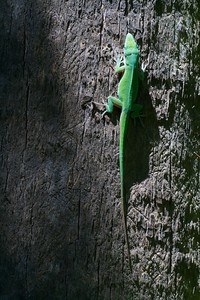 Green Anole Anolis carolinensis [April; Krenmueller Farms, Lower Rio Grande Valley, Texas]