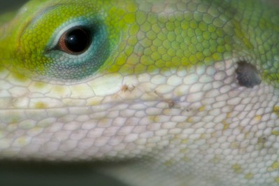 Green Anole (Anolis carolinensis) [April; Krenmueller Farms, Lower Rio Grande Valley, Texas]