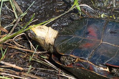 turtle Blanding's Turtle Emydoidea blandingii Necedah National Wildlife Refuge Necedah WI IMG_2417