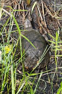 turtle Blanding's Turtle Emydoidea blandingii Necedah National Wildlife Refuge Necedah WI IMG_2391