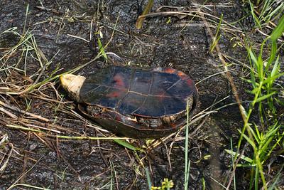 turtle Blanding's Turtle Emydoidea blandingii Necedah National Wildlife Refuge Necedah WI IMG_2413
