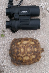 Texas Tortoise (Gopherus berlandieri) are cousins to the Gopher Tortoise. They live only in South Texas and eat the pads, flowers and fruits of Prickly Pear Cactus [June; Sick Dog Ranch, near Alice, Texas]
