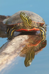 Western Painted Turtle Rock Pond UMD Duluth MN IMG_5267