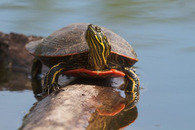 Western Painted Turtle Rock Pond UMD Duluth MN IMG_5275