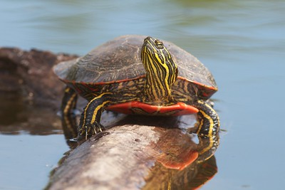 Western Painted Turtle Rock Pond UMD Duluth MN IMG_5274