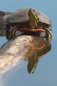 Western Painted Turtle Rock Pond UMD Duluth MN IMG_5271