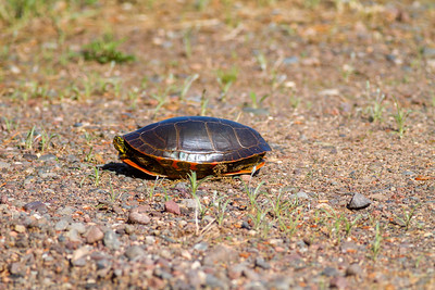 Painted Turtle Crex Meadows Grantsburg WI IMG_0265