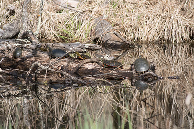 Western Painted Turtle group on log Pine Road Sax-Zim Bog MN DSC07208