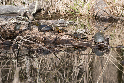 Western Painted Turtle group on log Pine Road Sax-Zim Bog MN DSC07212