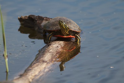 Western Painted Turtle Rock Pond UMD Duluth MN IMG_5237