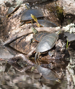 Western Painted Turtle group on log Pine Road Sax-Zim Bog MN DSC07214