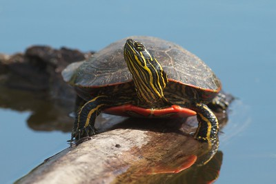 Western Painted Turtle Rock Pond UMD Duluth MN IMG_5265
