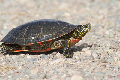 The Western Painted Turtle (Chrysemys picta bellii) is the most attractive and intricately patterned of the painted turtles [June; St. Louis County, Minnesota]