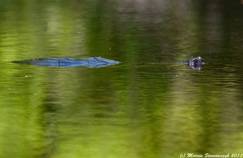 Submerged snapping  turtle