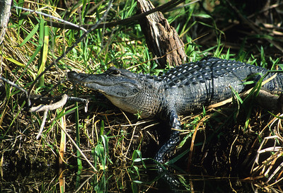 American Alligator-110