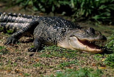 American Alligator-106