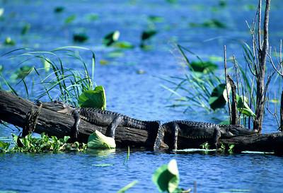American Alligator-104