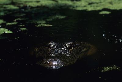 Alligator 7427