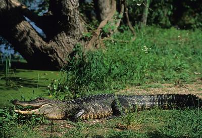 American Alligator-102