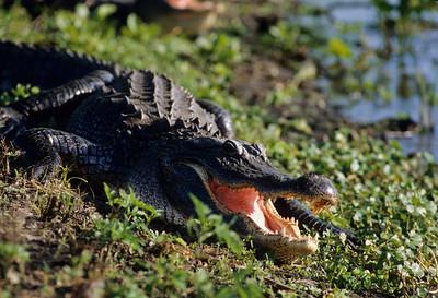 American Alligator-105