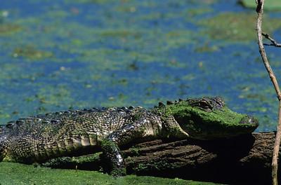 Alligator 7429