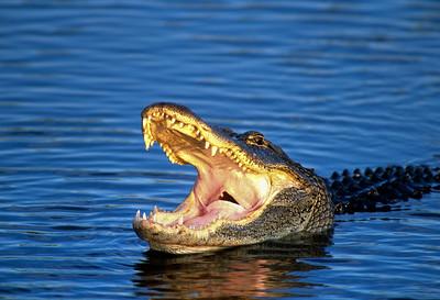 American Alligator-112
