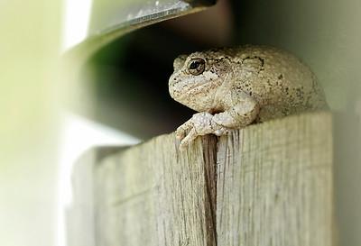 Gray Treefrog in the yard
