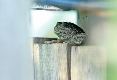 Northern Gray Treefrog