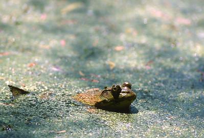 Frog-103