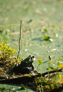 Frog-104