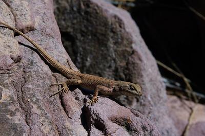 Lizards-152