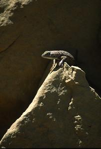 Lizards-193