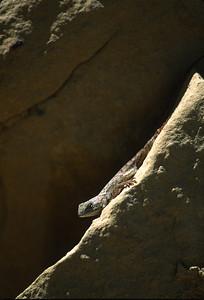 Lizards-194