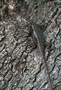 Lizards-190