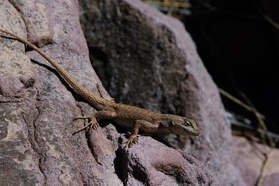 Lizards-153
