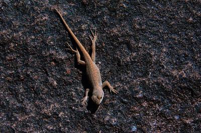 Lizards-164
