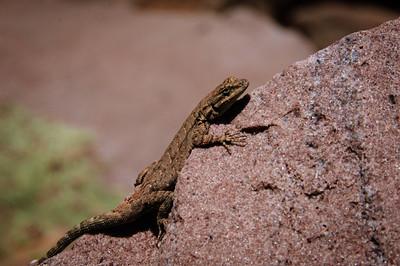 Lizards-183