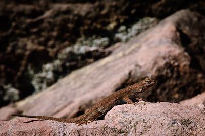 Lizards-116