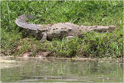 American Crocodile, Sarapiqui, Costa Rica, 31 March 2019