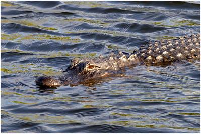 American Alligator, Florida, USA, 24 February 2012