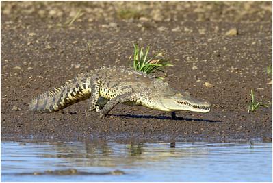 American Crocodile, Tarcoles, Costa Rica, 19 April 2011