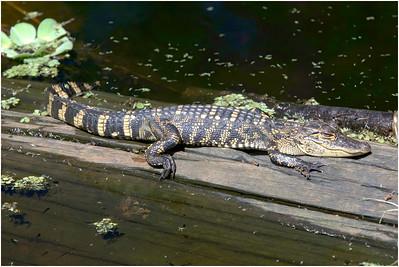 American Alligator, Florida, USA, 4 March 2012