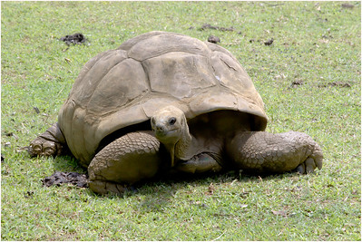 Aldabra Tortoise, Port Louis, Mauritius, 2 November 2018