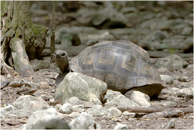 Aldabra Tortoise, Cousin Island, Seychelles, 7 November 2018